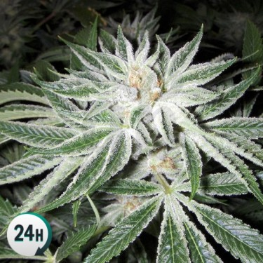 White Widow 100% feminizada