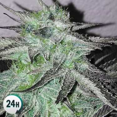 Critical Jack 100% feminized cannabis plant