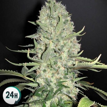 Auto Super Skunk 100% feminized