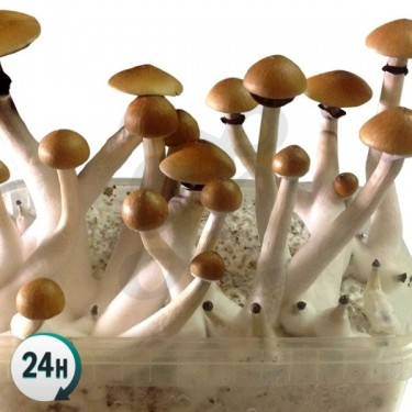 Mazapatec magic mushrooms