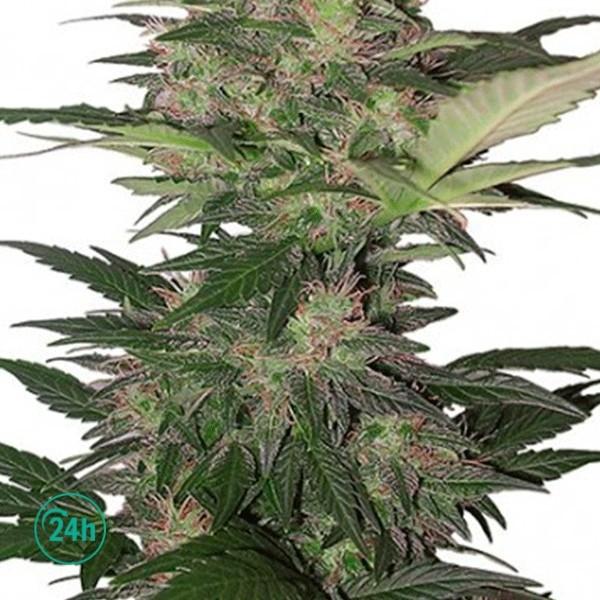 Red Dwarf Regular cannabis plant