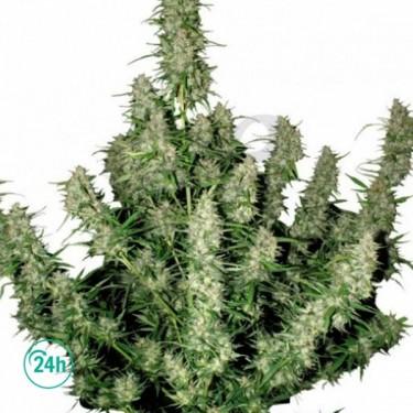 Magnum Regular cannabis plant