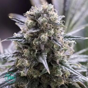 Quick Dinamed CBD planta de marihuana