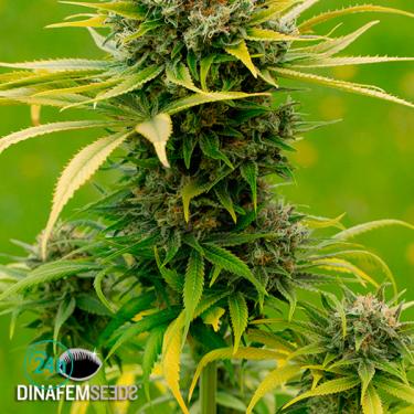 Dinamed CBD Plus cannabis plant