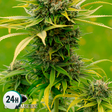 Dinamed CBD Plus planta de marihuana