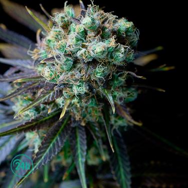Dinamed CBD planta de marihuana