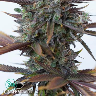 Purple Orange CBD cannabis plant