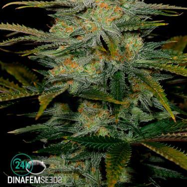 Amnesia CBD cannabis plant