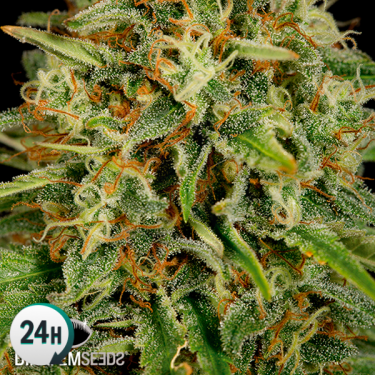 Strawberry Amnesia planta de marihuana