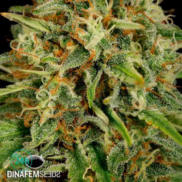Strawberry Amnesia planta de marihuana