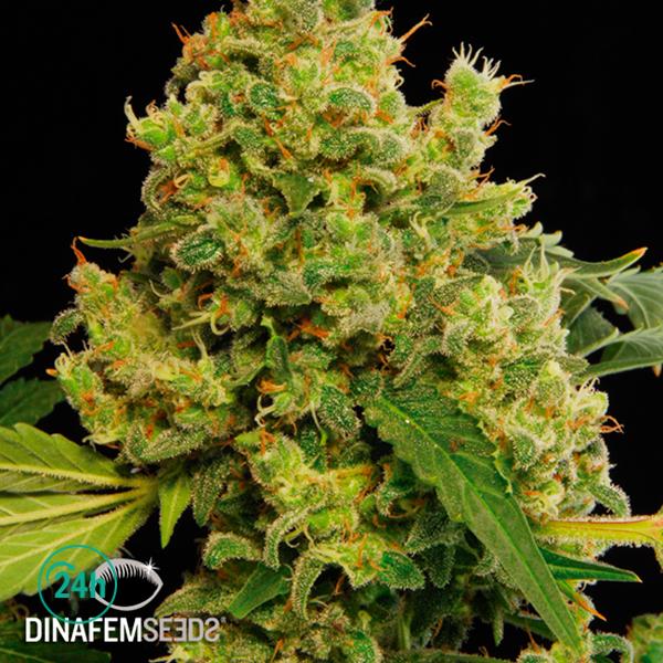 Blue Hash planta de marihuana