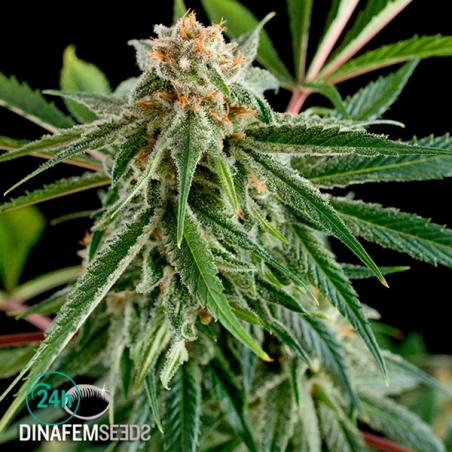 Royale Haze planta de marihuana
