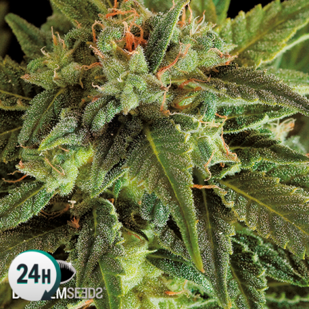 Fruit Autoflowering planta de marihuana