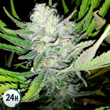 Auto Girl Scout Cookies 100% feminizada cannabis plant
