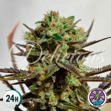 Delicious Candy cannabis plant