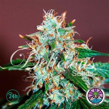 Critical Neville Haze cannabis plant