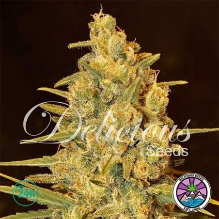 Critical Sensi Star planta de marihuana