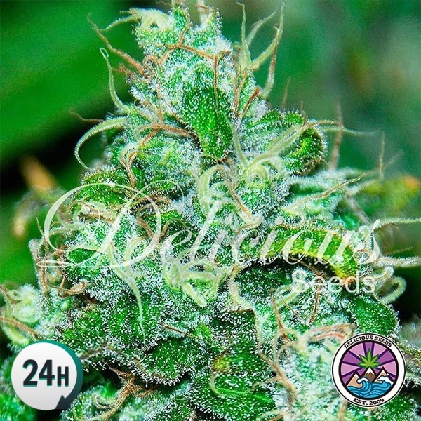 Fruity Chronic Juice planta de marihuana