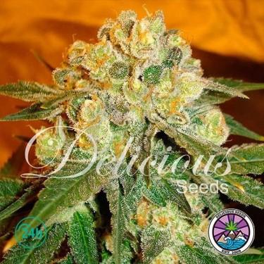 Marmalate cannabis plant