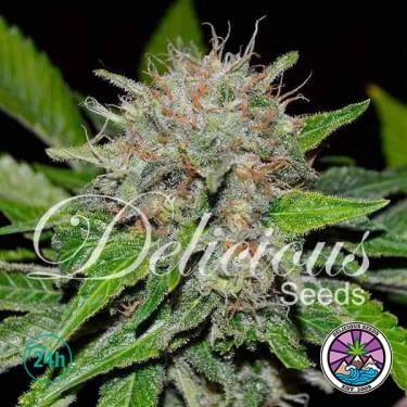 Plante de marijuana Deep Mandarine