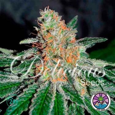 CBD Jam planta de marihuana