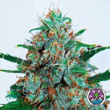 Plante de marijuana Critical Neville Haze Auto