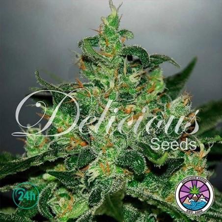 Critical Jack Herer Auto planta de marihuana