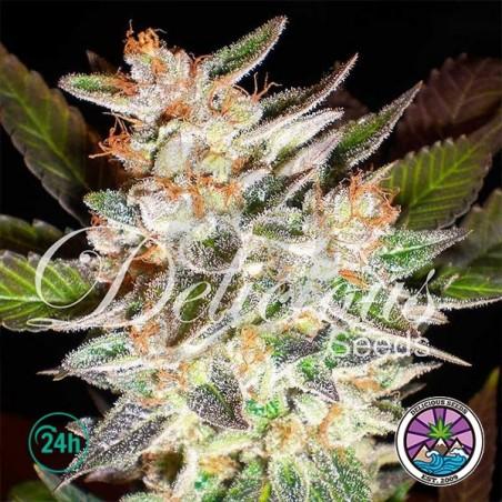 Delicious Candy Auto planta de marihuana