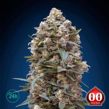 00 Kush planta de marihuana
