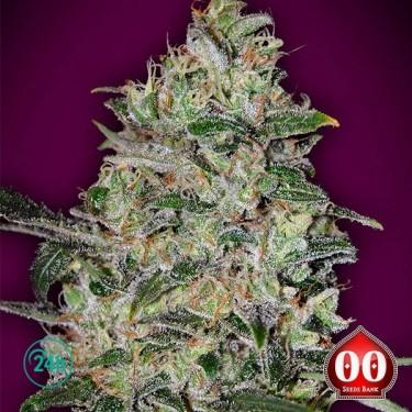 Bubble Gum Fast - Planta de marihuana