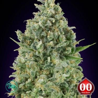 Critical Poison planta de marihuana