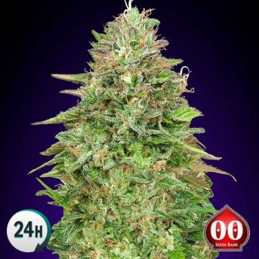Critical Poison Fast cannabis plant