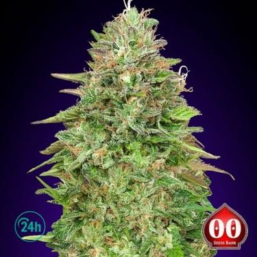 Critical Poison Fast planta de marihuana