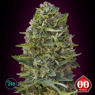 Caramel Kush Plante de marijuana