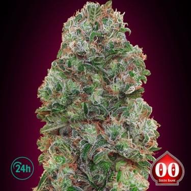 Bubble Gum planta de marihuana