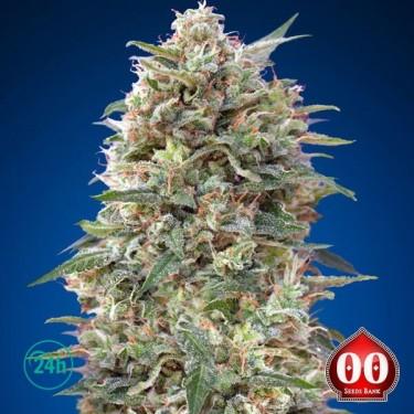 California Kush planta de marihuana