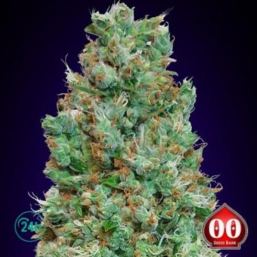 Auto Blueberry planta de marihuana