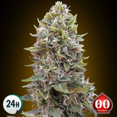 Auto Cheese Berry planta de marihuana