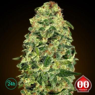 Auto California Kush planta de marihuana