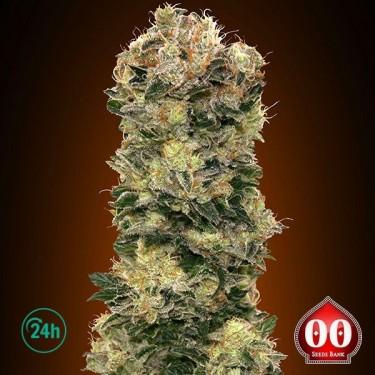 Auto Sweet Soma planta de marihuana