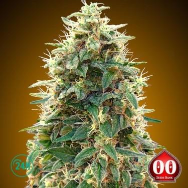 Auto 00 Cheese planta de marihuana