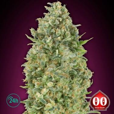 Auto Bubble Gum planta de marihuana
