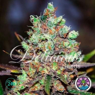 Cotton Candy Kush planta de marihuana