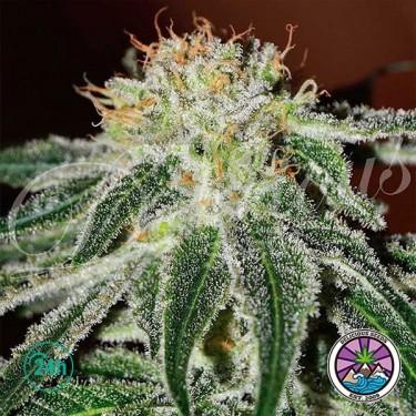 Black Russian planta de marihuana