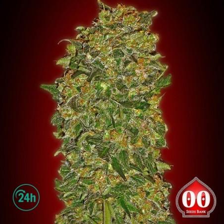 Chocolate Kush planta de marihuana