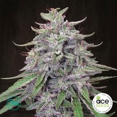 Bangi Haze Fem planta de marihuana