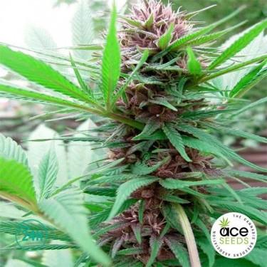 Erdpurt Fem planta de marihuana