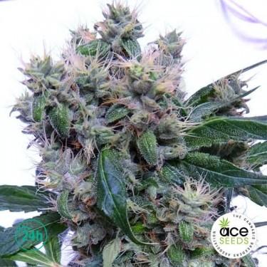 Bubba Hash Fem planta de marihuana