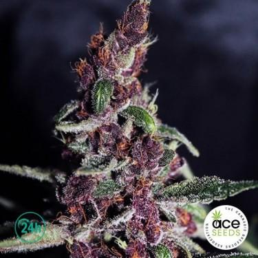 Violeta Fem planta de marihuana