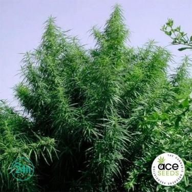 Tropical Mix Fem planta de marihuana
